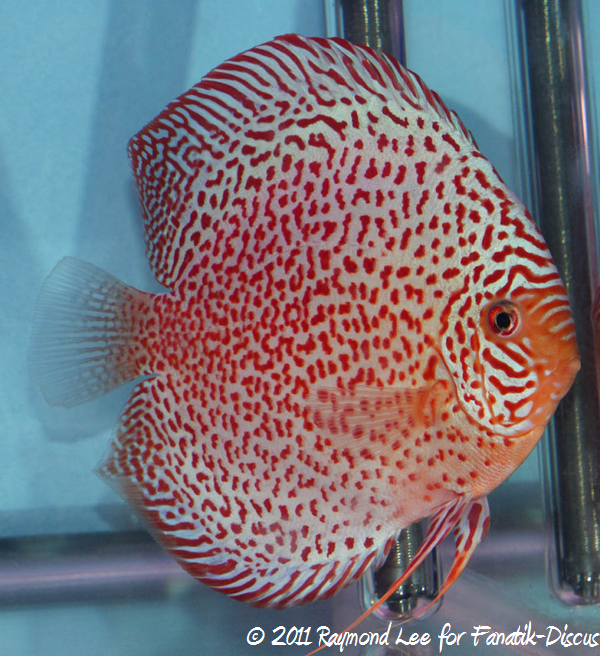 Discus 1St categorie Red Spotted Singapour