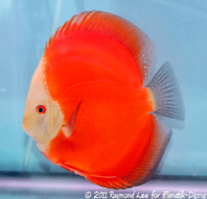 Discus 3rd categorie Red/Brown Singapour