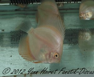 Alevins de discus Red Melon