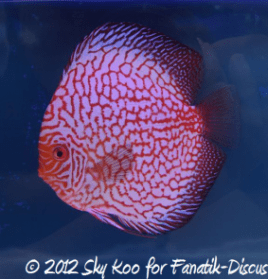 Discus pigeon blood 2nd Malaysian discus show 2012