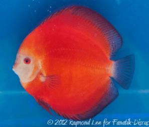 Discus solid red 3rd Malaysian discus show 2012