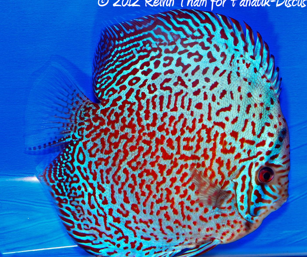 Discus turquoise 1st Malaysian discus show 2012