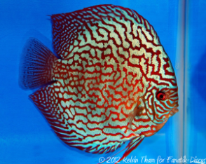 Discus turquoise 3rd Malaysian discus show 2012