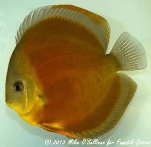 Discus red cover  1 cat open BIDKA 2011