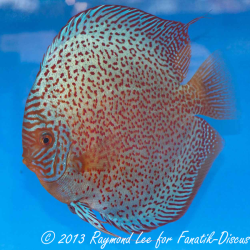 Discus red spotted 3 rd Singapour 2012