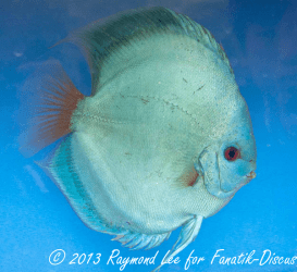Discus solid blue 2nd Singapour 2012