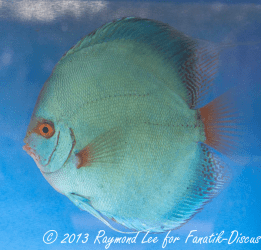 Discus solid blue 3rd Singapour 2012