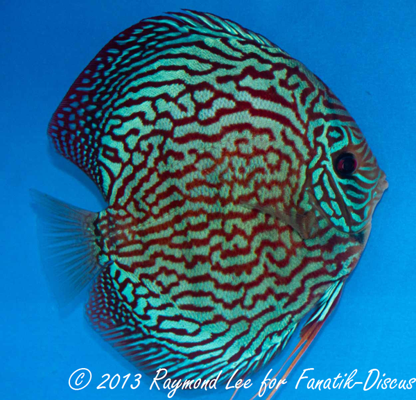Discus turquoise 1st Singapour 2012
