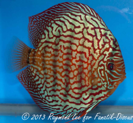 Discus turquoise 2nd Singapour 2012