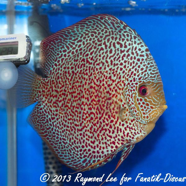Aquarama 2013 Class 3 Discus red spotted snakeskin 01_1