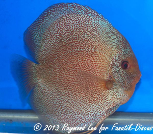 Aquarama 2013 Class 3 Discus red spotted snakeskin 02_1
