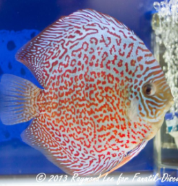 Aquarama 2013 Class 4 Discus red spotted 02_1
