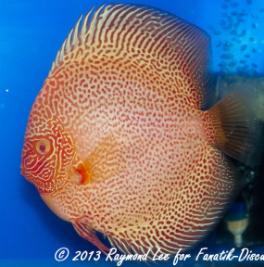 Aquarama 2013 Class 8 Discus albino pattern