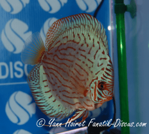 Discus 9th CAT striped turquoise France discus Show 2014