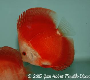 Discus Red Melon 2015 Yann Hoiret