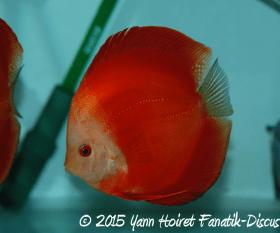 Aquarium de discus rouge
