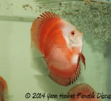 Discus Red Melon Yann Hoiret 2014