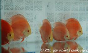 Discus red melon Francis Hu Paris discus show 2015