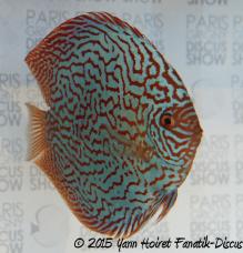 Discus turquoise Paris Grigny discus show 2015