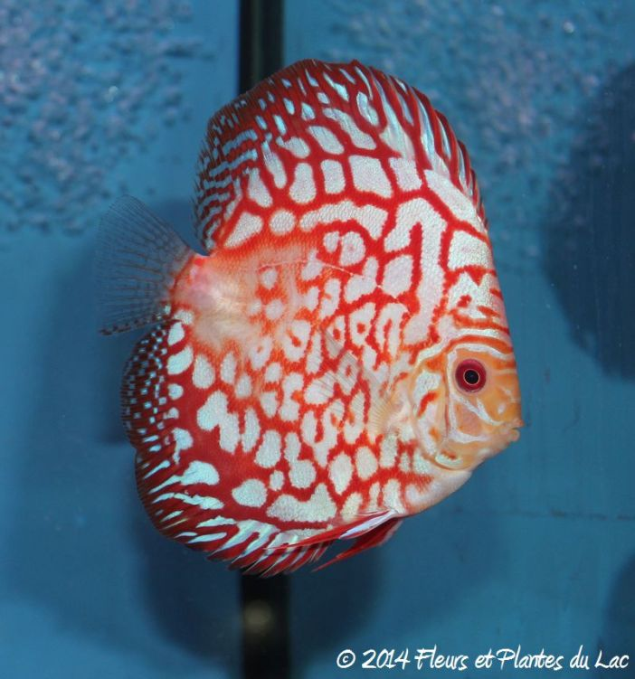 discus pigeon blood jaguar