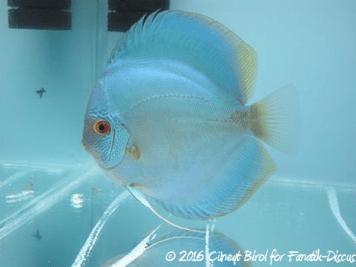 Blue discus fine stripes face