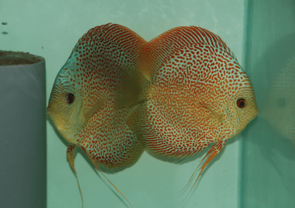 Couple de Discus red spotted snakeskin chez Matteo Paolieri