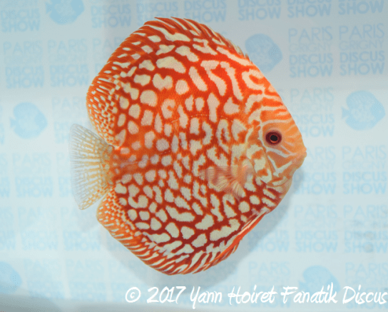 1St Gobert Fred breeding discus SG