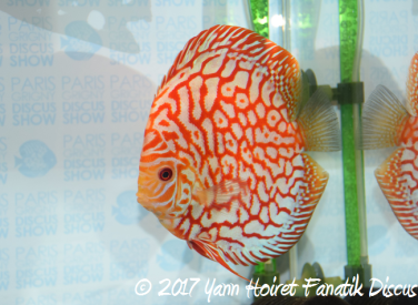 2nd broad pattern francis hu breeding discus SG