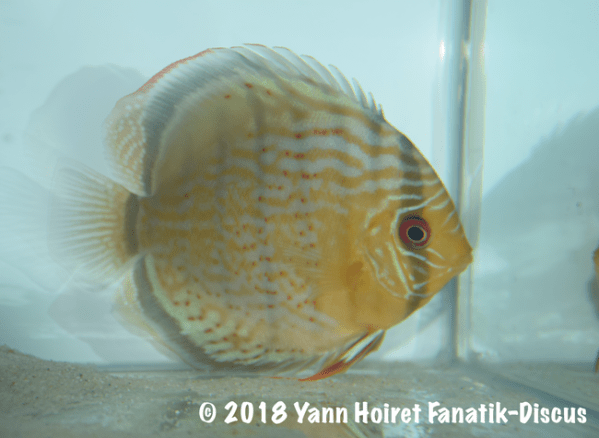 2nd Wild green cat Nordic discus show 2018 AQUAZOO