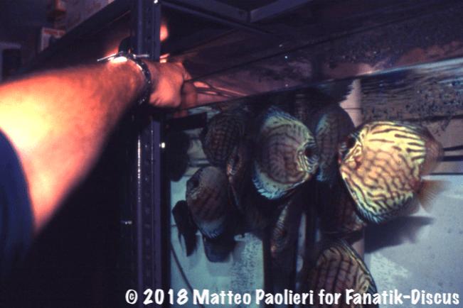 Jack Wattley hand feeding Discus Matteo paolieri