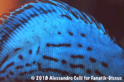 Jack Wattley Turquoise Hi Fin Discus close up 1989 Alessandro Celli