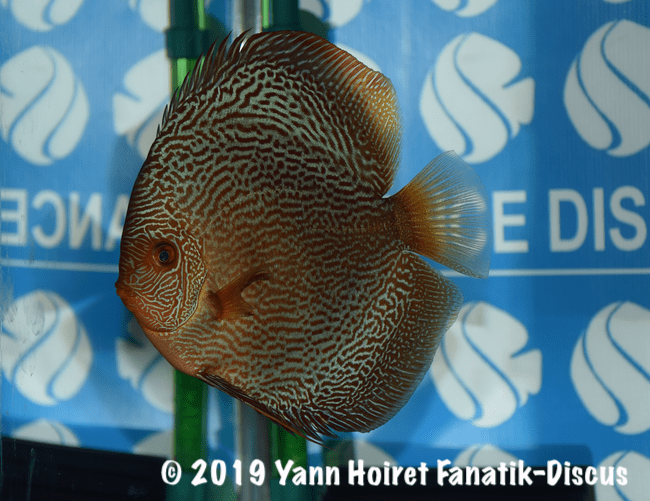 2nd open pattern discus snakeskin rouge FDS 2018
