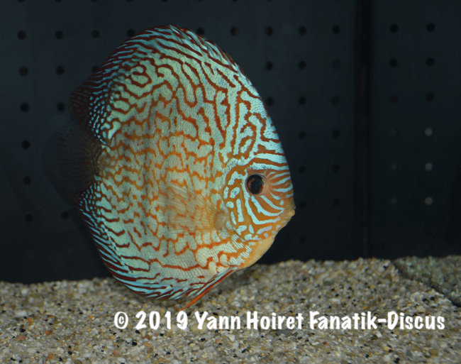 2ND pattern vivarium 2018 Discus friends show