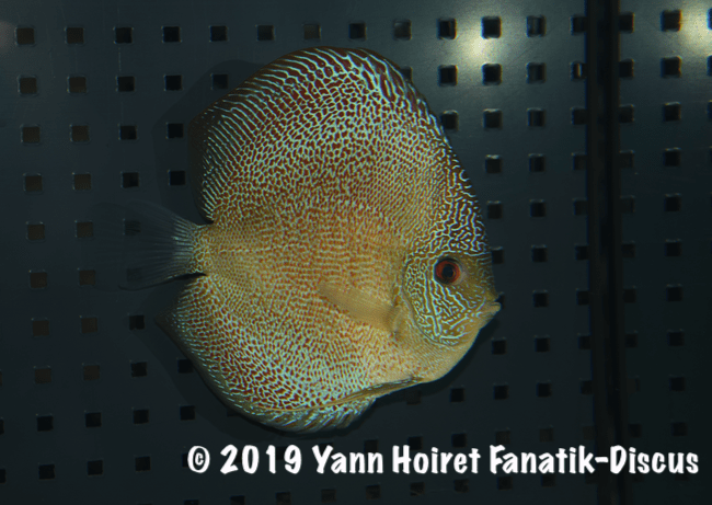 2nd Spotted discus Vivarium 2018 Discus friends show