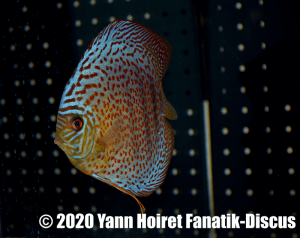 1st winner Prix Best Spotted Discus De discusvrienden Vivarium 2019