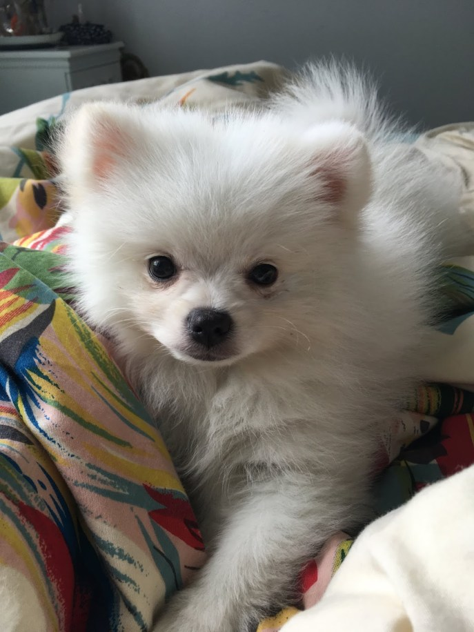 White pom puppy