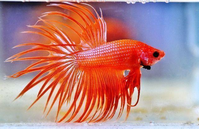 cuidados del pez betta
