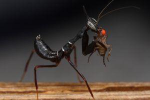 Phyllocrania paradoxa comiendo Drosophila
