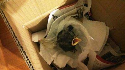 Pollito estornino caído del nido.