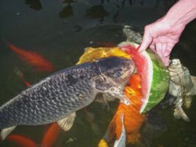 Las carpas Koi y los peces rojos (Carasius auratus) son excelentes comedores de plantas de acuario.