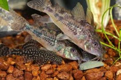 Corydoras comiendo junto a una pequeña cría de Ancistrus. En la alimentación de estos peces es importante que incluyas pastillas de fondo para facilitarles el acceso a la comida.