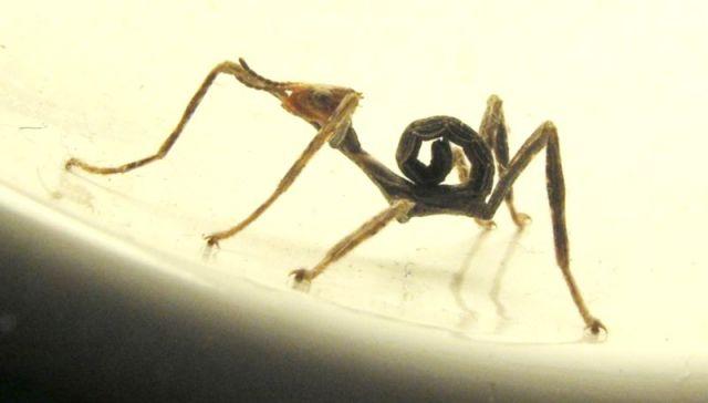 Ninfa de Extatosoma tiaratum. Autor: Sarefo (Own work) (http://www.gnu.org/copyleft/fdl.html), CC-BY-SA-3.0
