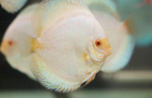 Iniciación con peces disco