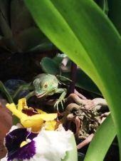 Cuidados de la iguana alimentación