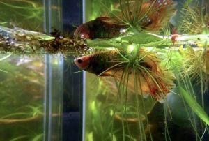 cambiar el agua al pez betta correctamente