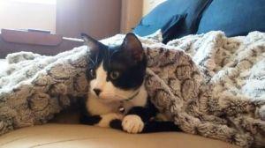 gato o gata bajo manta