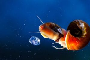 Cómo eliminar caracoles de acuario