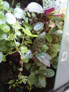 planta sencilla para acuaterrario