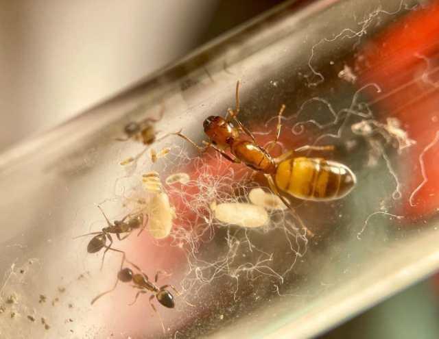 cuando pierden las alas las hormigas con alas