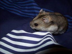 Estos pequeños roedores se ven incluso más bonitos fuera de la jaula e incluso de la bola